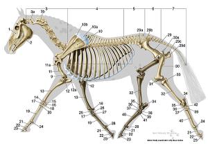 equine-lateral-skeletal-system
