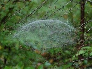 http://onh.eugraph.com/spiders/nlitigiosa/index.html